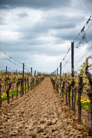 wine road: Looking Down Row Between Young Grape Vines Growing in Rich Soil of Winery Underneath Rain Clouds in Sky, Dimstein, Germany