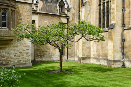 Lone Chestnut Tree in Tudor-Gothic Style New Court at Trinity College, University of Cambridge, England - Popular Tourist Attraction and Rumored to be Isaac Newton Apple Tree