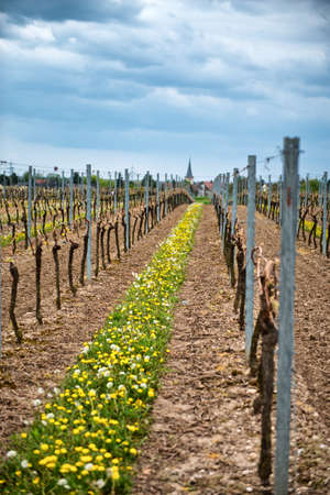 wine road: Rows of trellised vines in an agricultural vineyard in the Dirmstein winelands in Germany at the start of spring with fresh green leaves just beginning to sprout Stock Photo