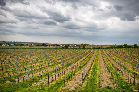 wine road: Spring vineyards on a winery in Dirmstein, Germany with rows of neatly trellised vines sprouting their first fresh spring leaves