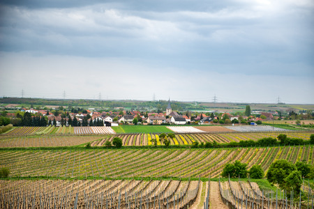 wine road: Winelands landscape at Laumersheim,Germany with fields of neatly trellised vines surrounding the village in a scenic agricultural view