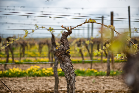 viñedo: En primer lugar la primavera de hojas en una vid en espaldera que crece en una viña en una bodega con hileras de vides visibles en el fondo