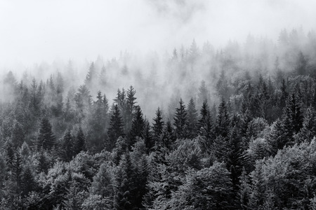 Neblige Wälder von immergrünen Nadelbäumen in einem etherischen Landschaft mit niedrigen Verlegung Nebel oder Wolke klammerte sich an den Spitzen der Bäume