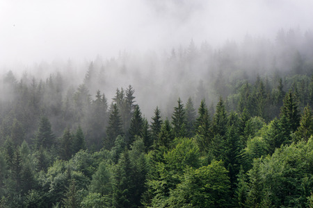 dark forest: Evergreen Forest Overview - Tops of Tall Green Trees with Dense Fog Rolling In Over Lush Wilderness