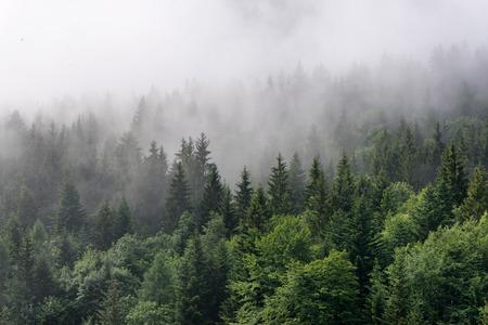 Evergreen Forest Overzicht - toppen van hoge groene bomen met dichte mist Rolling In Over Lush Wilderness Stockfoto