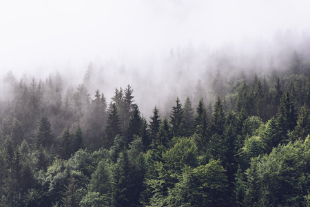 moody: Forested mountain slope in low lying cloud with the evergreen conifers shrouded in mist in a scenic landscape view