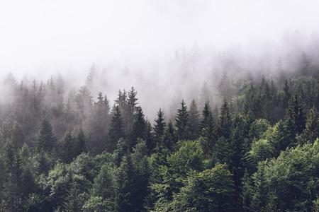 arbol de pino: Ladera de la montaña boscosa en la nube baja con las coníferas de hoja perenne envueltos en niebla en una vista panorámica del paisaje