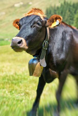 head collar: Cow wearing a large cowbell on a leather collar so that the farmer can track her whereabouts in mountain pastures by the sound it makes, standing close up with focus to the head