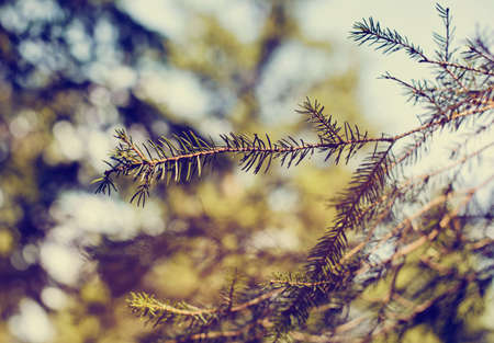 woody: Faded Old Fashioned Style Image of Nature Close Up of Branch of Evergreen Tree with Pine Needles in Forest Setting