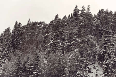 Conifer and other trees standing on mountain with a dusting of snow on their leaves under cold winter sky