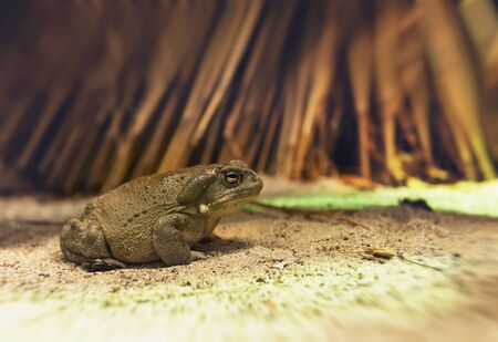 anura: Large green toad or frog sitting on the ground outdoors in a close up low angle view with copy space