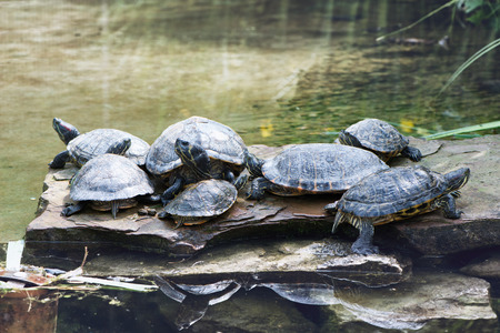 freshwater turtle: Group of freshwater terrapins sunning themselves on a rock overlooking a tranquil pond, close up view