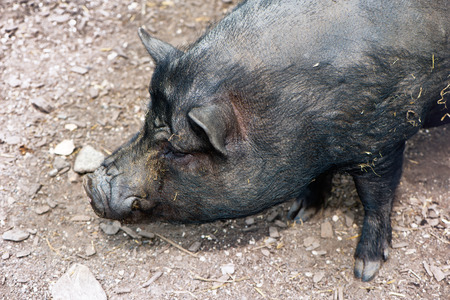 pot bellied: Close up high angle view of the head of a black pig in a farmyard or petting zoo standing looking to the left of the frame Stock Photo