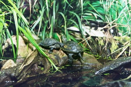 sunning: Group of terrapins on a rock at a pond surrounded by aquatic foliage plants sunning themselves in the sun