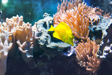 tropical tank: Brightly colored yellow tropical tang fish swimming underwater in a marine tank amongst corals and rocks