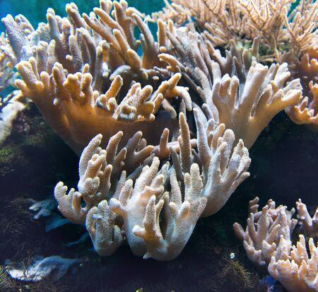 under fire: Cierre de vista en la hermosa propagación a cabo en vivo coral de fuego unido a la roca bajo el agua Foto de archivo