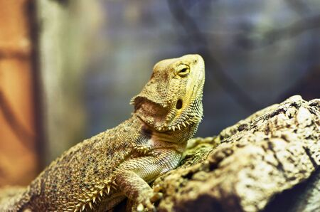 eyelids: Sleepy single brown sharp and scaly iguana perched diagonally on rock with eyelids partially shut