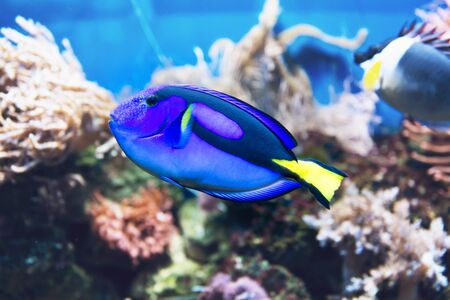 hepatus: Blue tang surgeonfish fish from the Indo-Pacific ocean swimming in a saltwater tank or aquarium Stock Photo