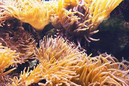 sea anemone: Large yellow and orange sea anemone organism with outstretched tentacles under water