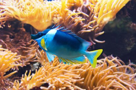 symbiotic: Centered single blue and yellow fish swimming near orange colored sea anemone under water