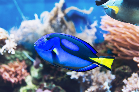 tang: Exotic brightly colored blue tang surgeonfish swimming in a saltwater aquarium with underwater sponges