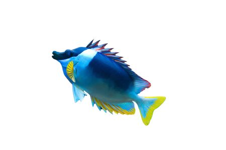 gills: Single isolated cute blue and yellow fish with long snout, sharp fins and fanned gills over white background Stock Photo