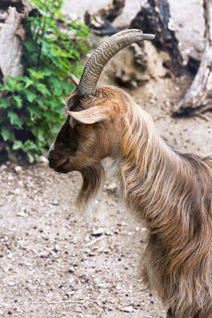 hircus: Close up side view of the head of a brown shaggy goat with horns and a beard