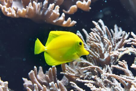 zebrasoma: Colorful neon yellow tang fish swimming in a saltwater aquarium or tank amongst corals, side view