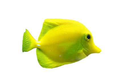 yellow tang: Isolated brightly colored yellow tang fish, a popular tropical fish for marine tanks or an aquarium, full body side view