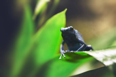 tiny frog: Selective focus low angle view on perched dark colored tiny frog with arm hanging over thick green leaf