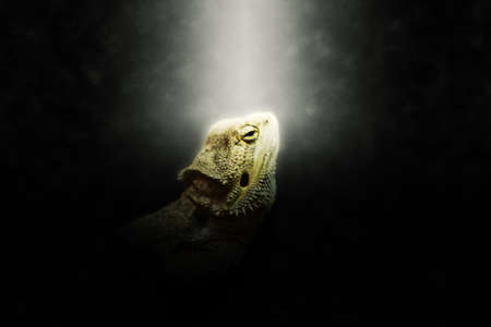 obscurity: Bright halo around single iguana head looking upward over dark background with copy space