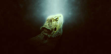 obscurity: Light green halo around single iguana head looking upward over dark background with copy space