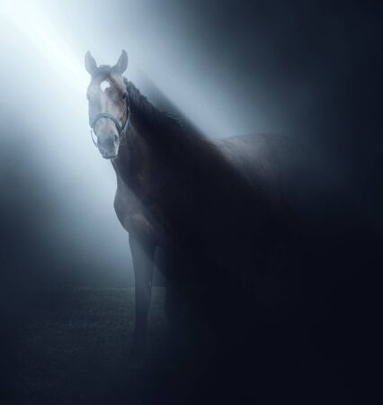bridle: Horse wearing a bridle standing in a beam of light shining from above in misty darkness looking at the camera Stock Photo