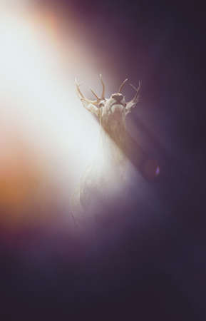 mesmerized: Frightened deer or buck with large antlers illuminated in a shaft of light shining down through the night from behind, low angle with the animal raising its head and copy space below Stock Photo