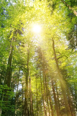 forestry: Bright sunburst through fresh green spring foliage in the canopy of a forest of tall trees in a forestry plantation casting a sunbeam to the ground Stock Photo