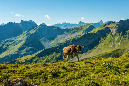 allgau: Lone cow in an alpine pasture in the Allgau Alps, Germany walking over the ridge of a high altitude plateau with green summer grass