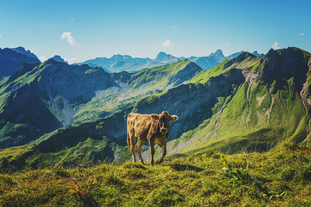 allgau: Stray cow walking and grazing on green grass near mountain valley in Allgau Germany