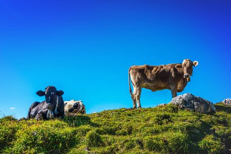 allgau: Herd of cows in a grassy rocky alpine pasture standing or lying against a sunny blue sky looking down at the camera, Grosser Daumen, Germany Stock Photo