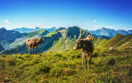 allgau: Two brown cows wearing cow bells standing in a high alpine pasture on Grosser Daumen in the Allgau Alps, Germany