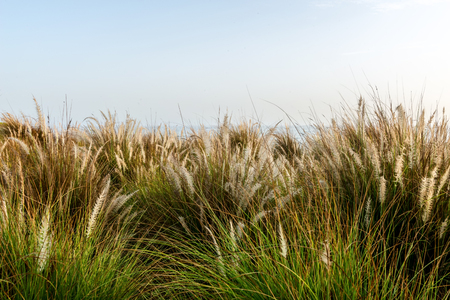 flowering: Ornamental flowering summer coastal grasses with delicate feathery inflorescences against a clear blue sky with sun flare in a scenic background Stock Photo