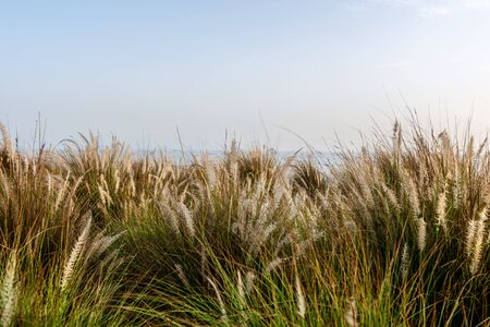 desert ecosystem: View of decorative grasses with clear sky above with copy space for background about nature Stock Photo