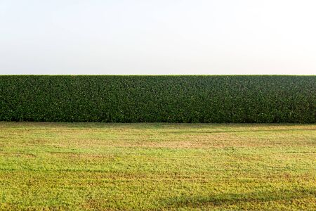 hedging: Low cut grass field with hedges in background with warm sunset or sunrise type of lighting. Includes copy space.