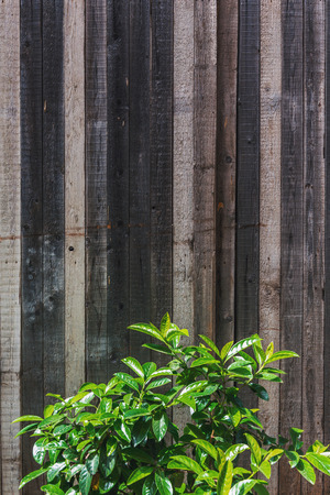 Fresh green shrub in front of an old rustic wooden plank fence background with copy space Stock Photo