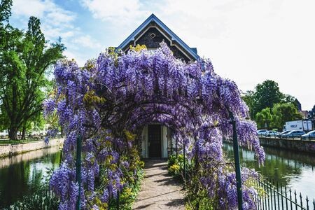 Old house in Strasbourg with colorful purple wisteria covering the arched arbor leading to the front door situated on an island in a canal in Petite France Stock Photo