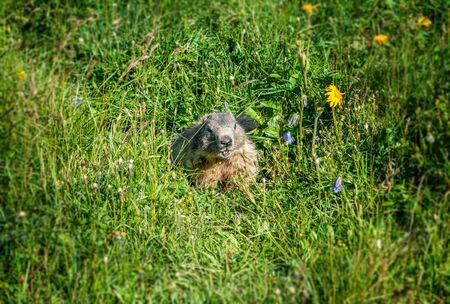 Little marmot sitting in meadow