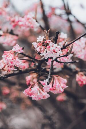 Dainty pink blossom on a tree branch with clusters of tubular flowers in a close up shallow dof view Stock Photo