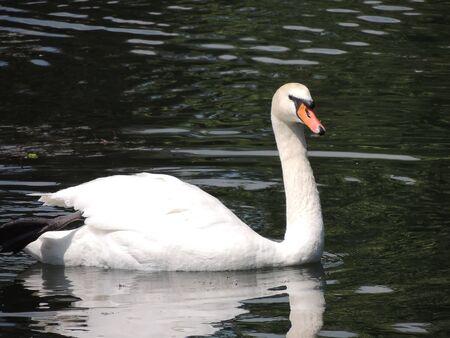origen animal: Cisne blanco nadando en el lago
