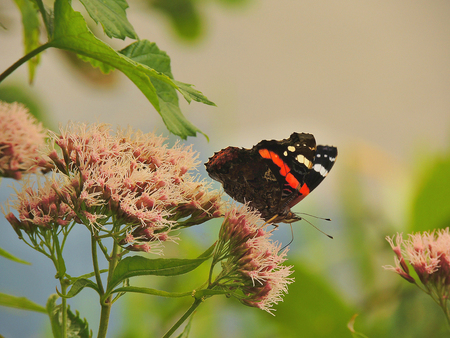 Admiral butterfly  Vanessa atalanta  sits on a flower             photo