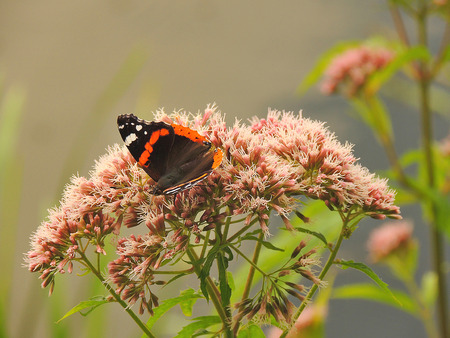 live action:      Admiral butterfly  Vanessa atalanta  sits on a flower