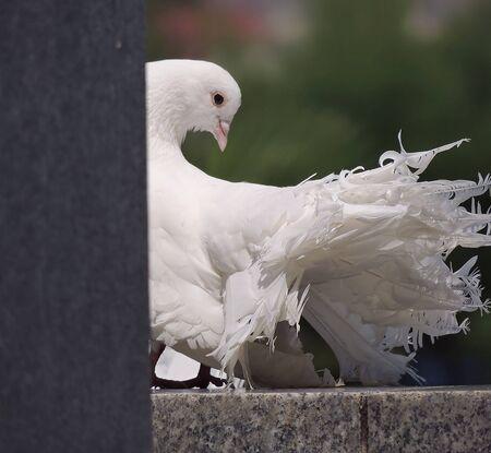 white bird:    Beautiful white bird pigeon